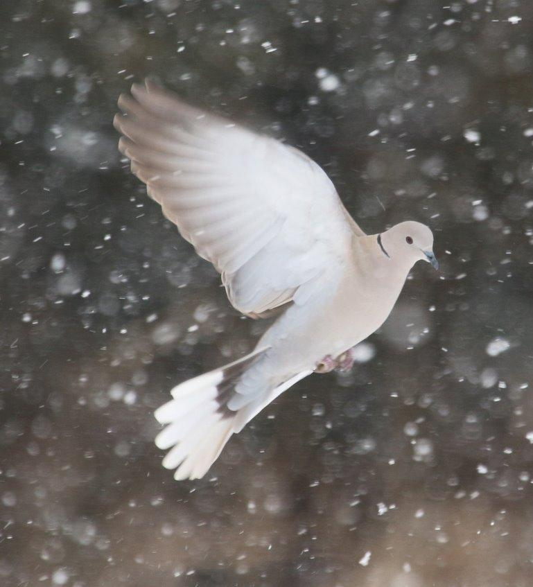 Winter Dove by Murchison