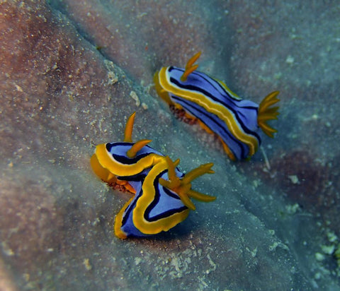 Great Barrier Reef based Nudibranches