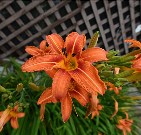 Orange  Lilly by Schmidt