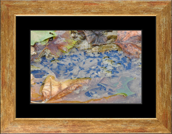 A Sea of Tadpoles in an 10 x 15 Print Framed with mat in a Gold Accent Frame - Schmidt Fine Art Gallery