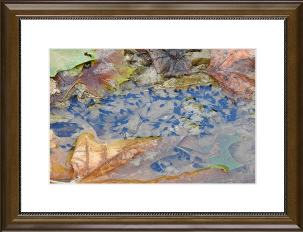 A Sea of Tadpoles in an 10 x 15 Print Framed with mat in a Beaded Walnut Frame - Schmidt Fine Art Gallery