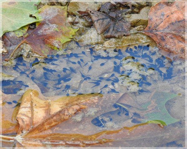 A sea of tadpoles by Lowe in an 8 x 10 print - Schmidt Fine Art Gallery