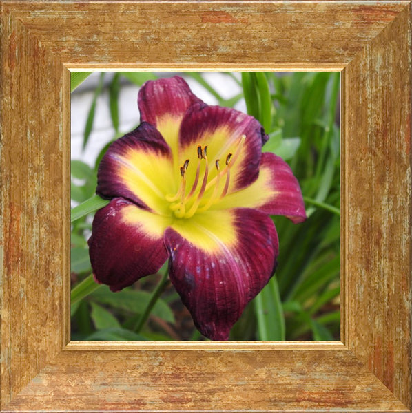 A Special Flower for that Special Someone in a 8 x 8 Print Framed in a Gold Accent Frame - Schmidt Fine Art Gallery