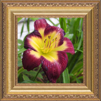 A Special Flower for that Special Someone in a 8 x 8 Print Framed in a Gold Ornate Frame - Schmidt Fine Art Gallery