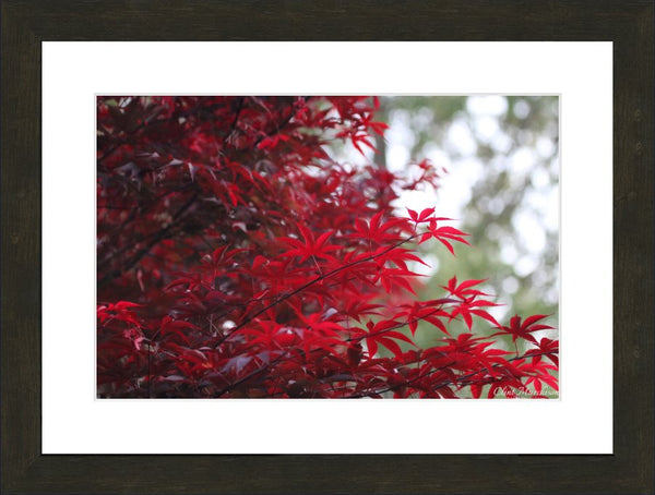 Arkasnsas Red Flowers in Spring 2 by Murchison in a 12 x 18 print Framed - Schmidt Fine Art Gallery