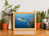 Atlantic Black Tipped Shark in a 5 x 7 Unframed Print - Schmidt Fine Art Gallery