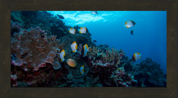 Butterfly Fish in the Great Barrier Reef in a 12 x 24 Print Framed in a Espresso Walnut Frame - Schmidt Fine Art Gallery