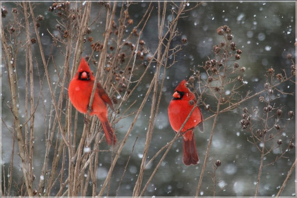 Cardinal Love .. Birds in Winter in a 16 x 24 print with Foam backing - Schmidt Fine Art Gallery