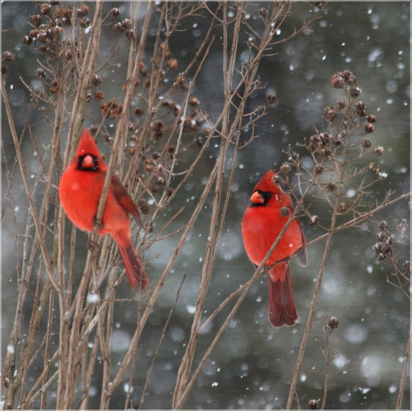 Cardinal Love .. Birds in Winter in a 19.5 x 19.5 Acrylic - Schmidt Fine Art Gallery