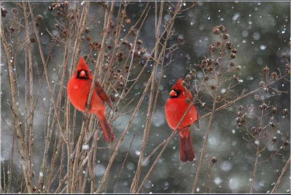 Cardinal Love .. Birds in Winter in a 24 x 36 print with Foam backing - Schmidt Fine Art Gallery