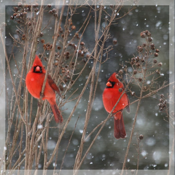 Cardinal Love .. Birds in Winter in a 4 x 4 print with Foam backing - Schmidt Fine Art Gallery