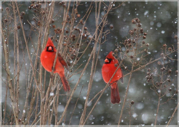 Cardinal Love .. Birds in Winter in a 4 x 5 Print - Schmidt Fine Art Gallery