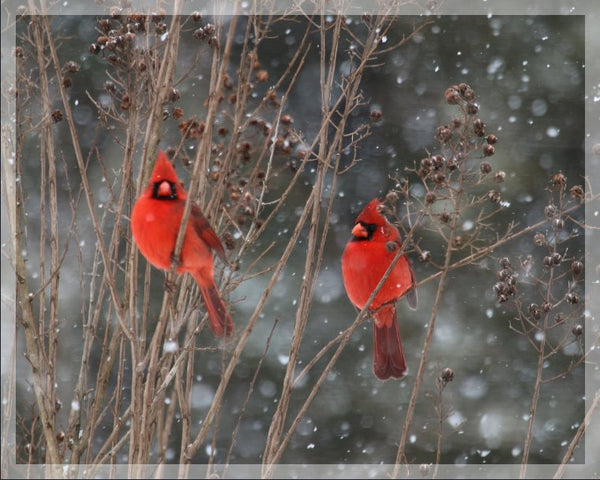 Cardinal Love .. Birds in Winter in a 4 x 5 print with Foam backing - Schmidt Fine Art Gallery