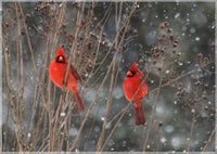 Cardinal Love .. Birds in Winter in a 4 x 6 print - Schmidt Fine Art Gallery