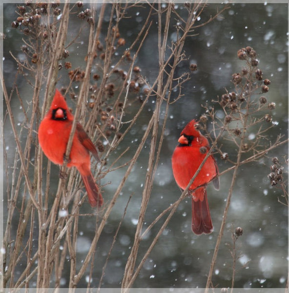 Cardinal Love .. Birds in Winter in a 40 x 40 Acrylic - Schmidt Fine Art Gallery