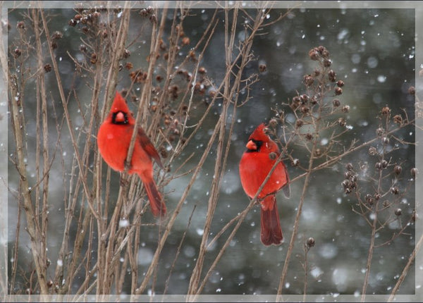 Cardinal Love .. Birds in Winter in a 5 x 7 print with Foam backing - Schmidt Fine Art Gallery