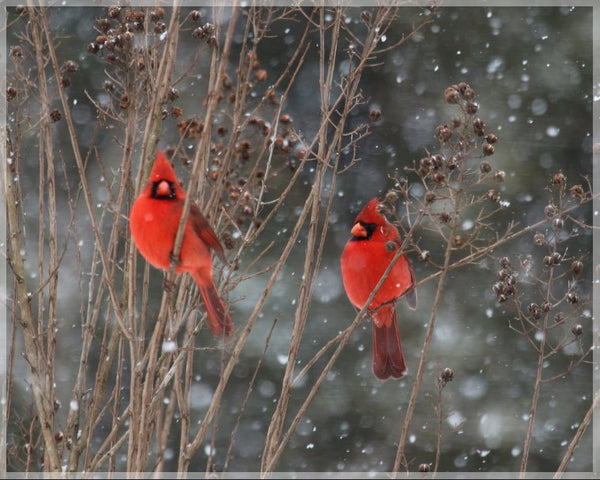 Cardinal Love .. Birds in Winter in a 8 x 10 print with Foam backing - Schmidt Fine Art Gallery