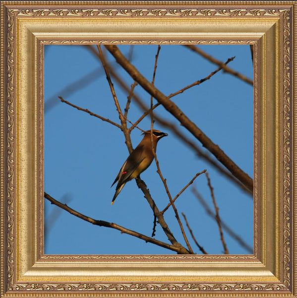 Cedar Waxwings on a 10 x 10 Print in a Gold Ornate Frame - Schmidt Fine Art Gallery