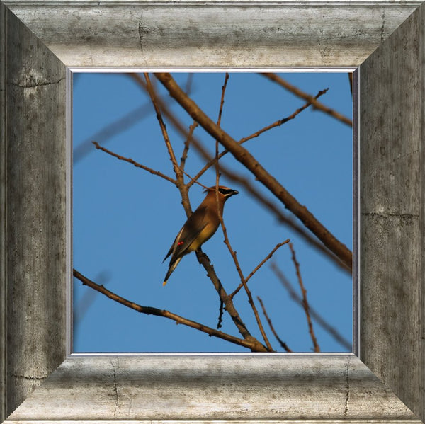 Cedar Waxwings on a 10 x 10 Print  in a silver curved frame by Murchison - Schmidt Fine Art Gallery