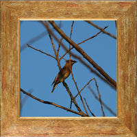 Cedar Waxwings on a 10 x 10 Print framed in Gold Accent by Murchison - Schmidt Fine Art Gallery