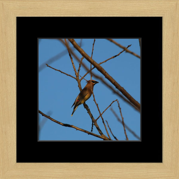 Cedar Waxwings on a 10 x 10 Print in a Blonde Maple Frame with mat - Schmidt Fine Art Gallery