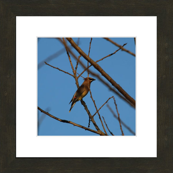 Cedar Waxwings on a 10 x 10 Print in an Espresso Walnut Frame with mat - Schmidt Fine Art Gallery