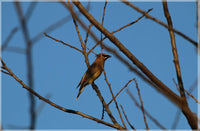 Cedar Waxwings on a 4 x 6 Unframed Print - Schmidt Fine Art Gallery