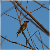 Cedar Waxwings on a 8 x 8 Unframed Print by Murchison Schmidt Fine Art Gallery