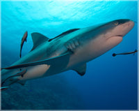 Up Close and Personal Shark in a 8 x 10 Unframed Print - Schmidt Fine Art Gallery