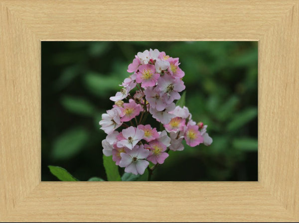 Close up of Pink and White Spring Arkansas Flowers in a 6 x 9 Framed Print - Schmidt Fine Art Gallery