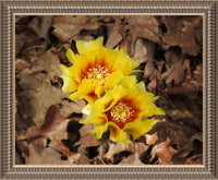 Dual Cactus Flowers in Summer in a 16 x 20 Print in a Pewter Ribbed Frame - Schmidt Fine Art Gallery