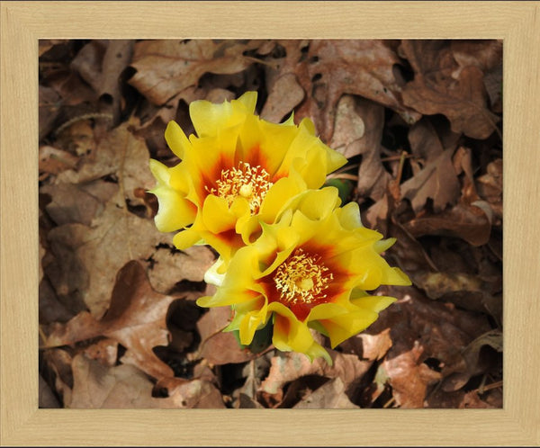 Dual Cactus Flowers in Summer in a 16 x 20 Print in a Blonde Maple Frame - Schmidt Fine Art Gallery