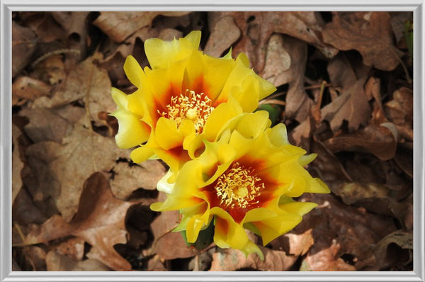 Dual Cactus Flowers in Summer in a 6 x 9 Print in a Silver Metal Frame - Schmidt Fine Art Gallery