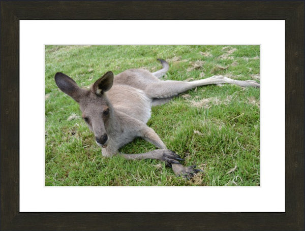 Eastern Grey Kangaroo Chillin out in a 12 x 18 in a Espresso Walnut frame with mat - Schmidt Fine Art Gallery