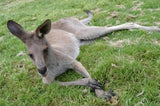 Eastern Grey Kangaroo Chillin Out in a 5 x 7 Print - Schmidt Fine Art Gallery