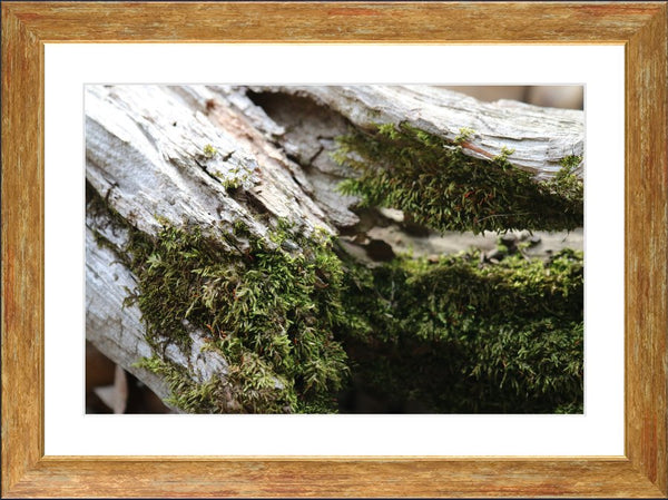 Fallen Tree Covered by Moss in a 16 x 24 Print Framed with White Mat - Schmidt Fine Art Gallery