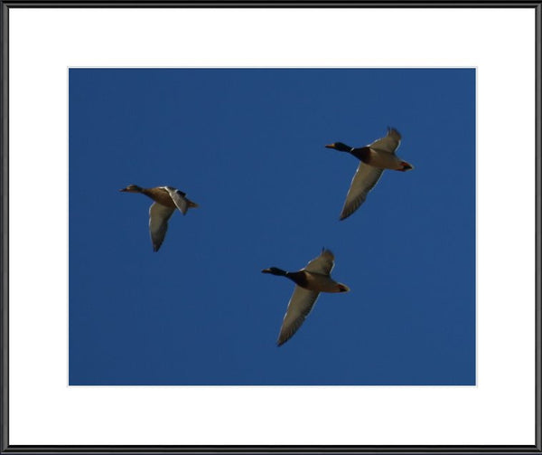 Flock of Ducks in a 11 x 14 Print Framed - Schmidt Fine Art Gallery