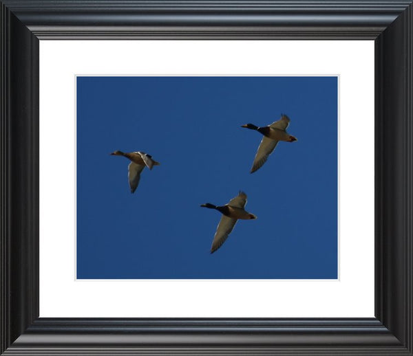 Flock of Ducks by Murchison in a 11 x 14  print Framed - Schmidt Fine Art Gallery