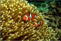 GBR Clown Fish and Anemone 30 x 20 Poster - Schmidt Fine Art Gallery