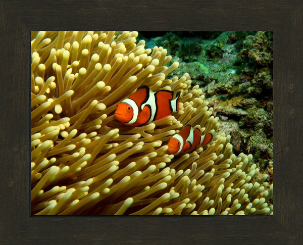GBR Clown Fish and Anemone in 10 x 13 Framed in an Espresso Walnut Frame - Schmidt Fine Art Gallery