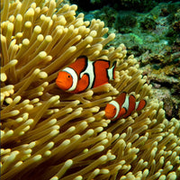 GBR Clown Fish and Anemone in a 20 x 20 Canvas - Schmidt Fine Art Gallery