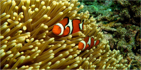 GBR Clown Fish and Anemone in a 20 x 40 Acrylic Print - Schmidt Fine Art Gallery