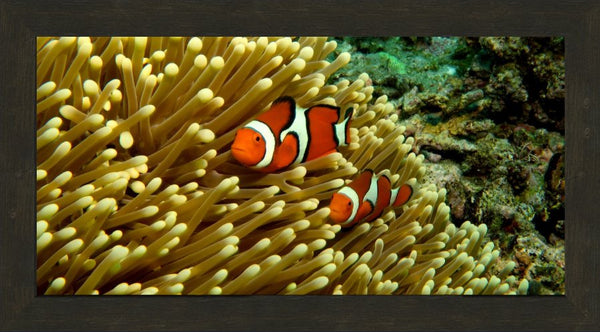 GBR Clown Fish and Anemone in a 12 x 24 Framed in an Espresso Walnut Frame - Schmidt Fine Art Gallery