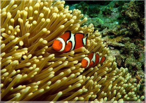 GBR Clown Fish and Anemone in a 4 x 5 Print - Schmidt Fine Art Gallery