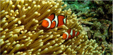 GBR Clown Fish and Anemone in a 5 x 10 Acrylic Print - Schmidt Fine Art Gallery