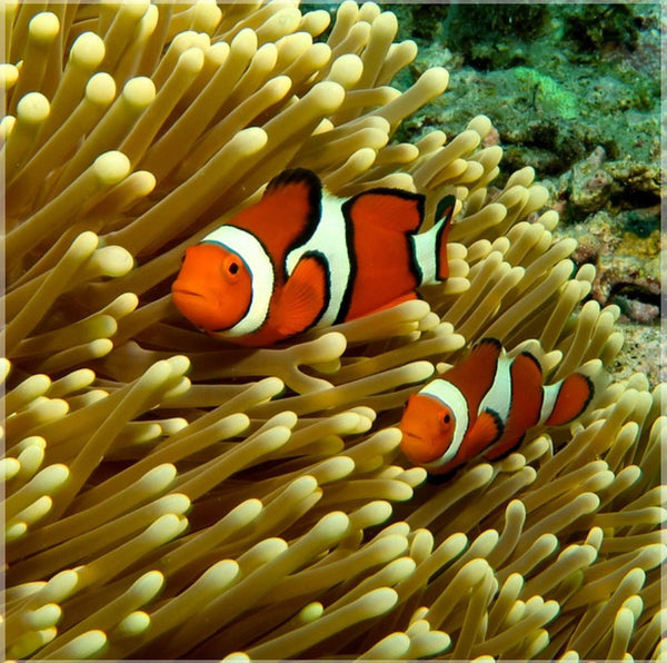 GBR Clown Fish and Anemone in a 8 x 8 Wrap - Schmidt Fine Art Gallery