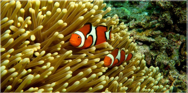 GBR Clown Fish and Anemone in a 80 x 40 Acrylic Print - Schmidt Fine Art Gallery