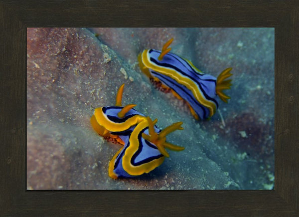 Great Barrier Reef based Nudibranches in a 10 x 15 Print in an Espresso Walnut Frame - Schmidt Fine Art Gallery