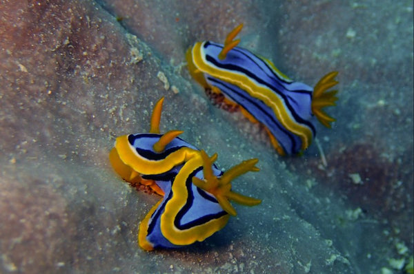 Great Barrier Reef based Nudibranches in a 36 x 24 Canvas - Schmidt Fine Art Gallery