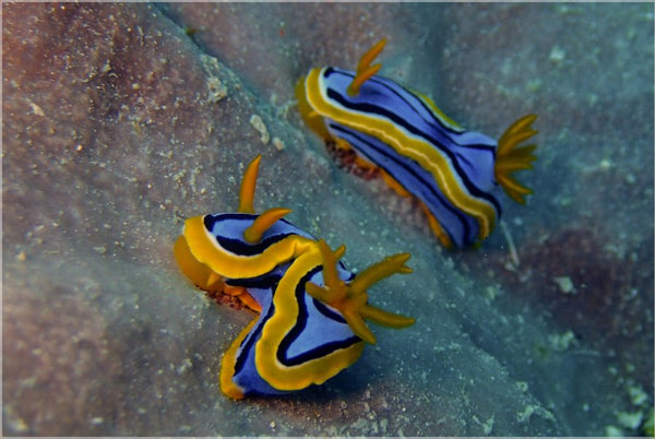 Great Barrier Reef based Nudibranches in a 36 x 24 Poster - Schmidt Fine Art Gallery